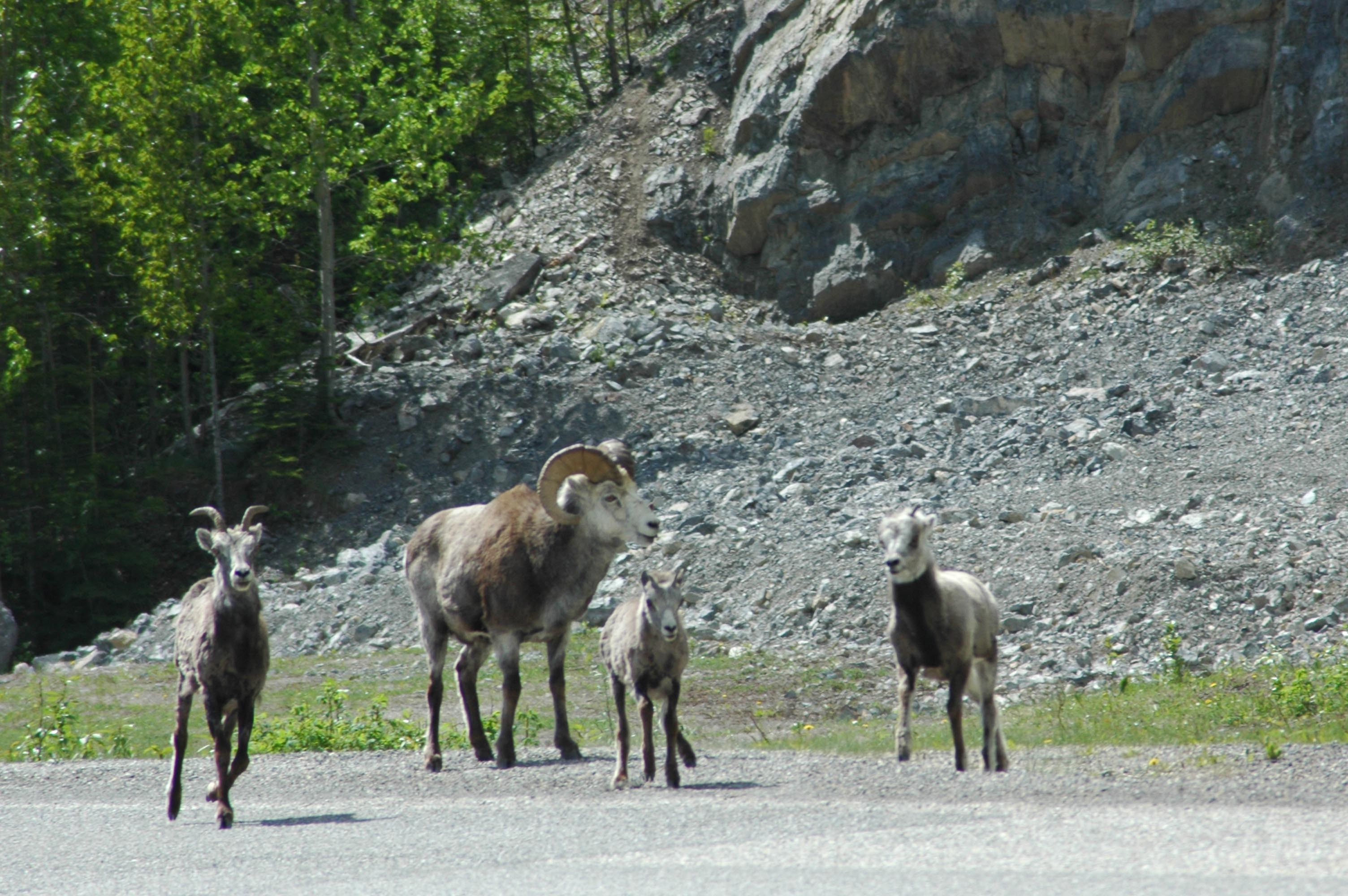 Wild life along the road - Stone Sheep