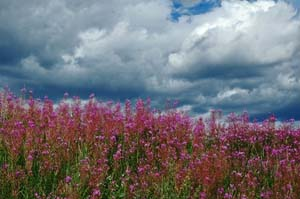 Fireweed Color