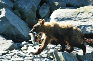 Alaska...Bears and Salmon