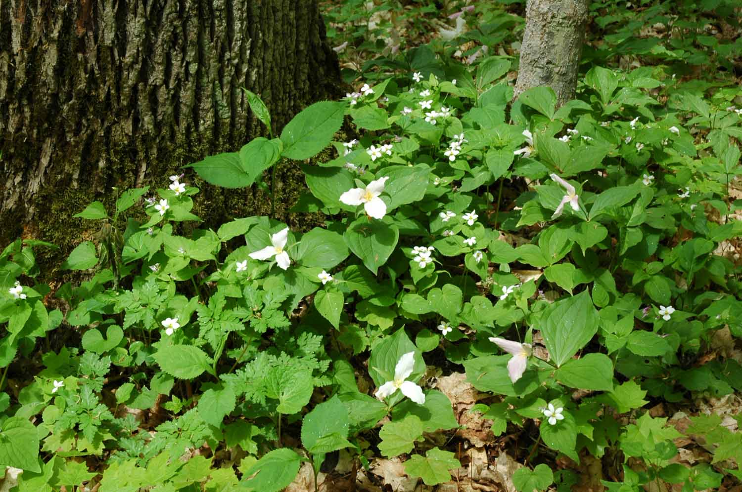 Trilliums Dune Treat Trail