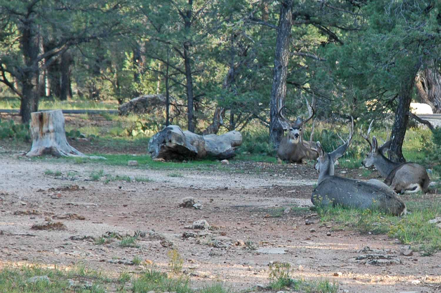 Visitors next to our camp site - Bucks just hanging out - It is the season