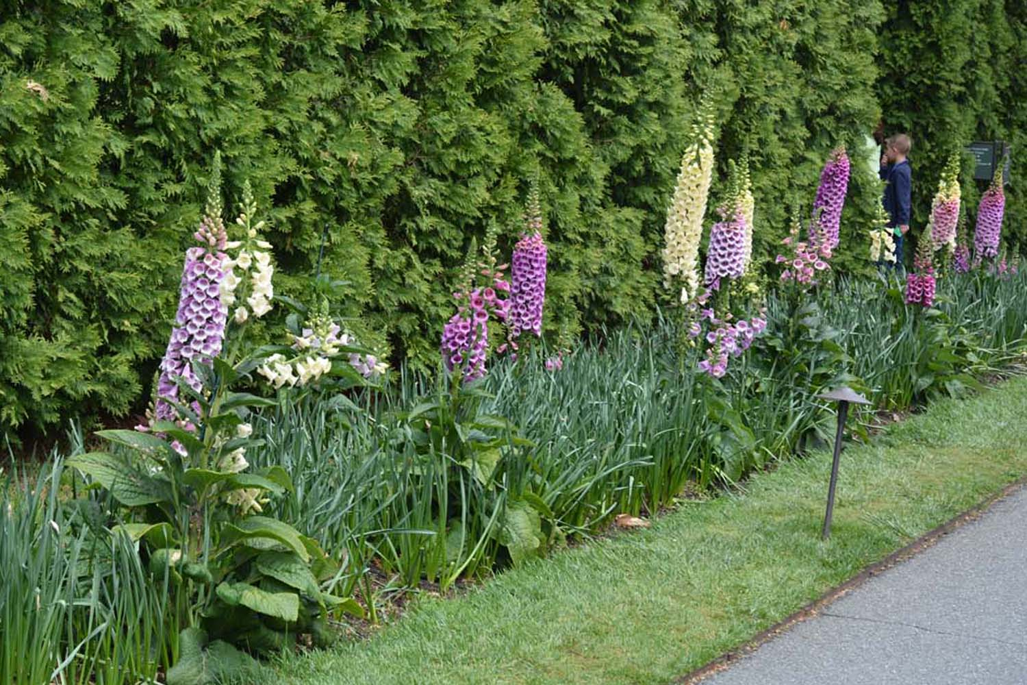 Longwood Foxgloves