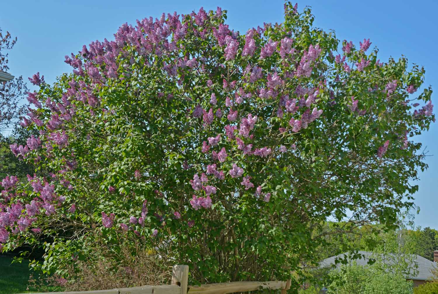 Love Those Spring Lilacs