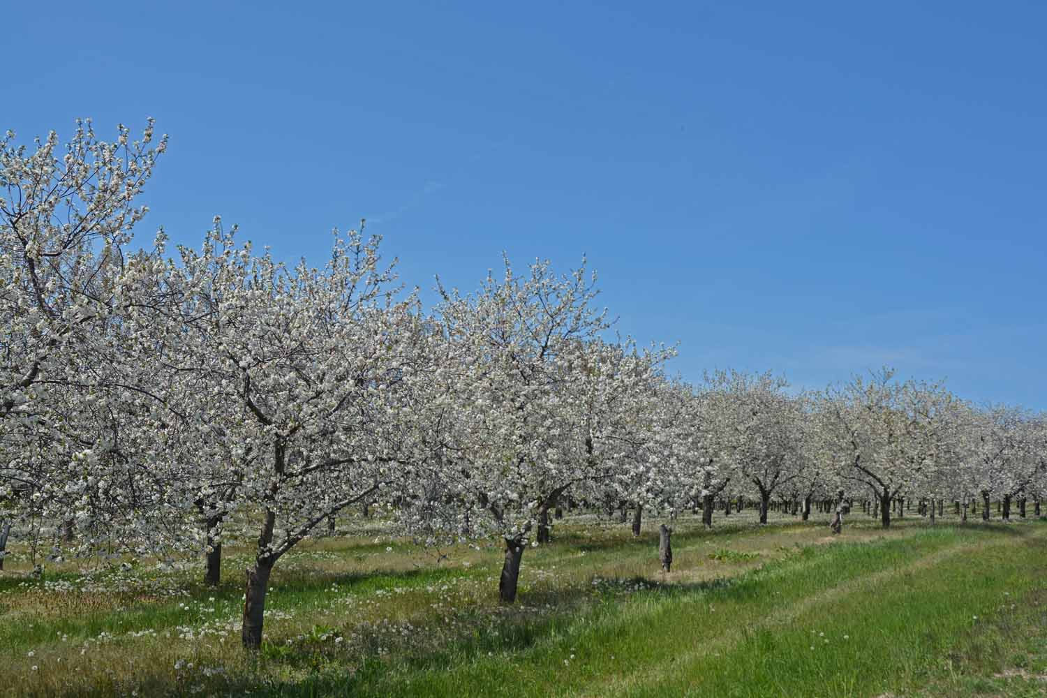 These are Apple Trees