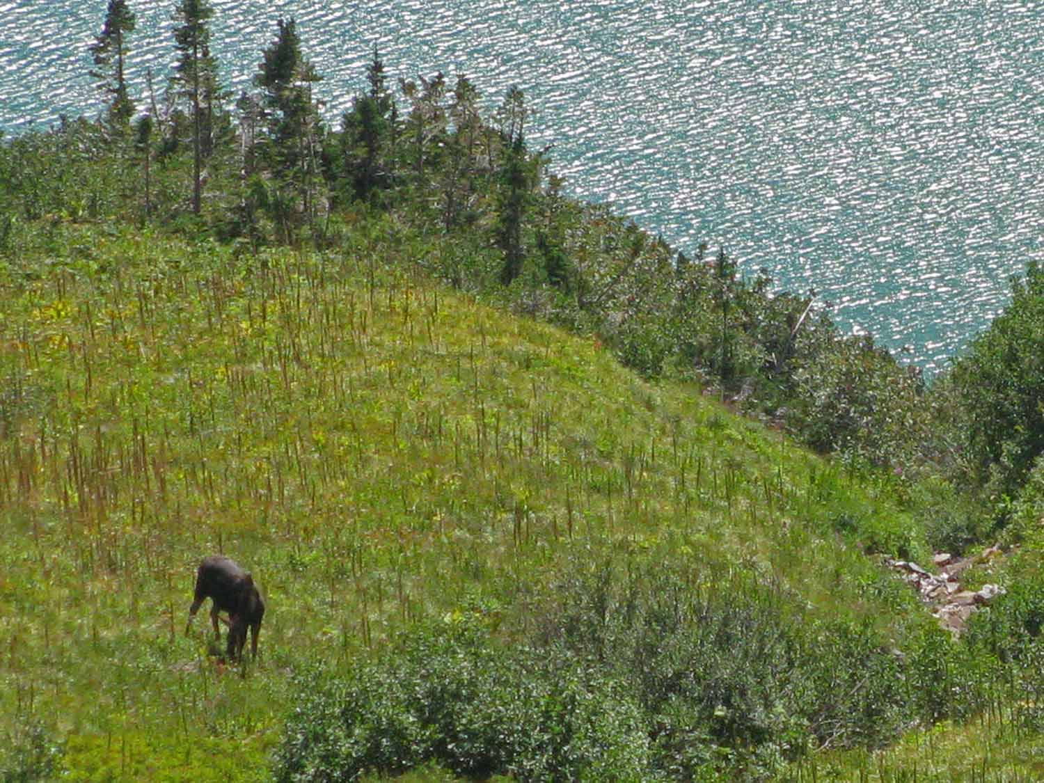 Miss Moose was off in the distance chowing down on the vegetation