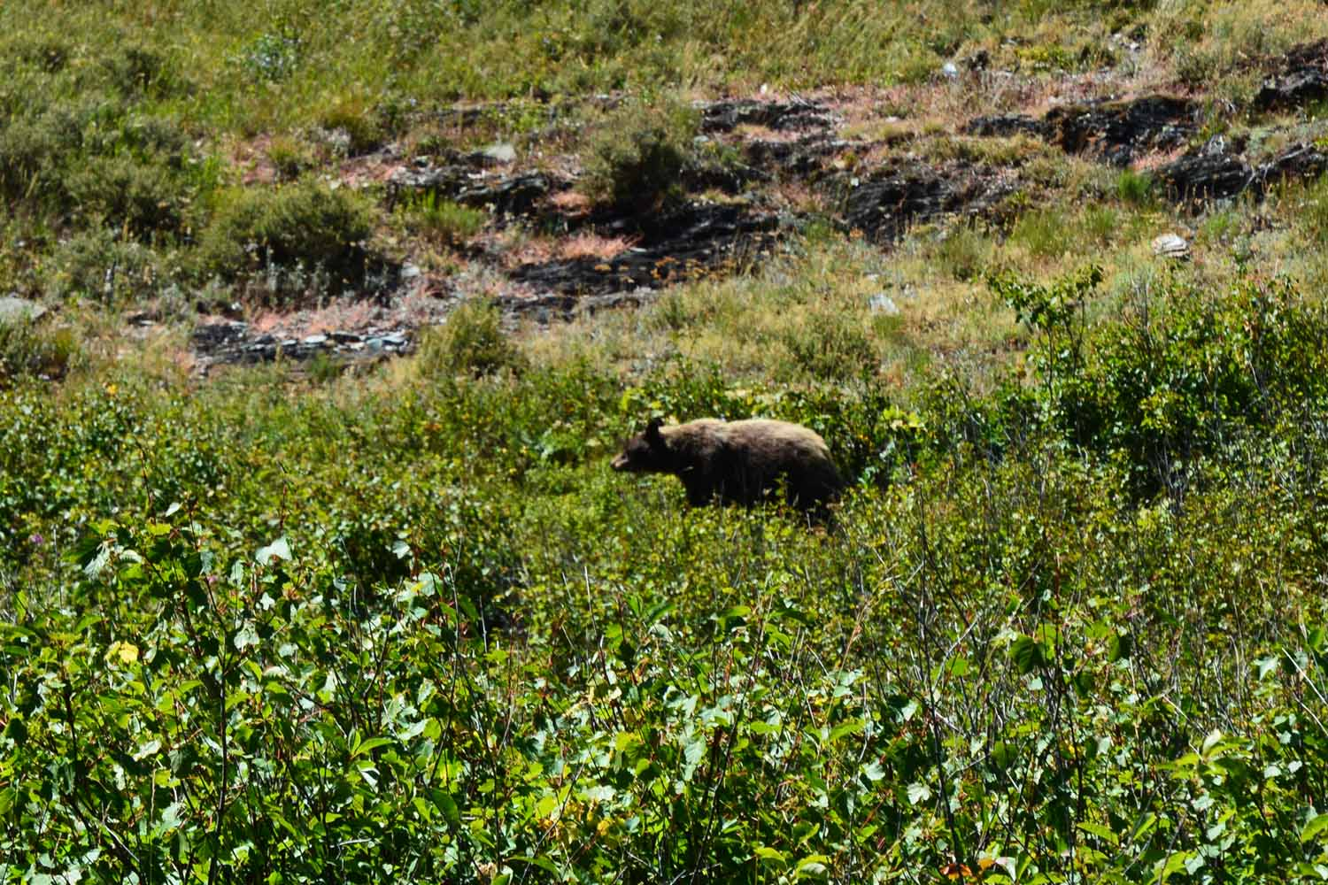 We meet Mr Grizzly eating anything he can find getting ready for winter.  He was about 500 feet from the trail.