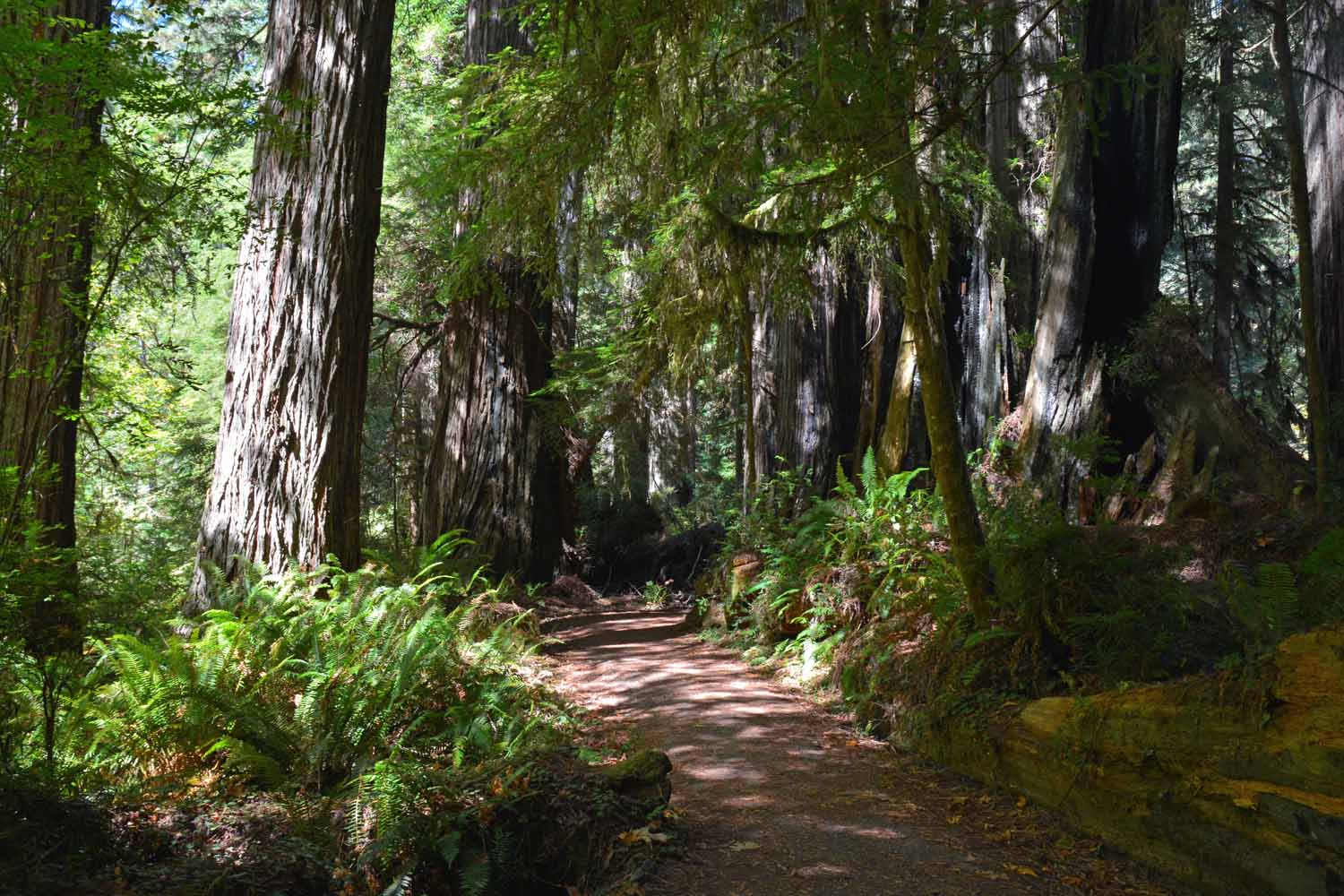This trail is in the Jedediah Smith Redwoods State Park which in the Northern section.  Great RV park by the way.  The feeling here is one of being in a cathedral.  Our other hikes were in the Prairie Creek area which is more central.    Inland and to the south there is more Redwoods National Park but we did not make it that far. Getting around in this park requires a lot of driving.