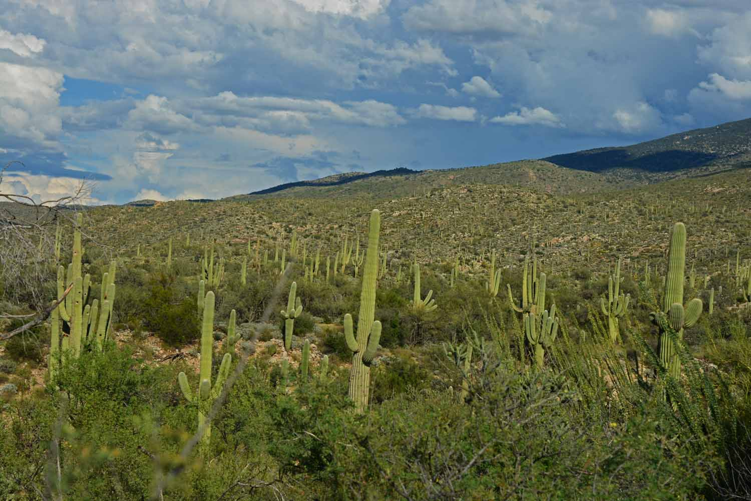 Everywhere you look there are plenty of Saguaros.  After 75 years these cactus get their arms.  Many of these are over 100 years old and over 70 ft tall.