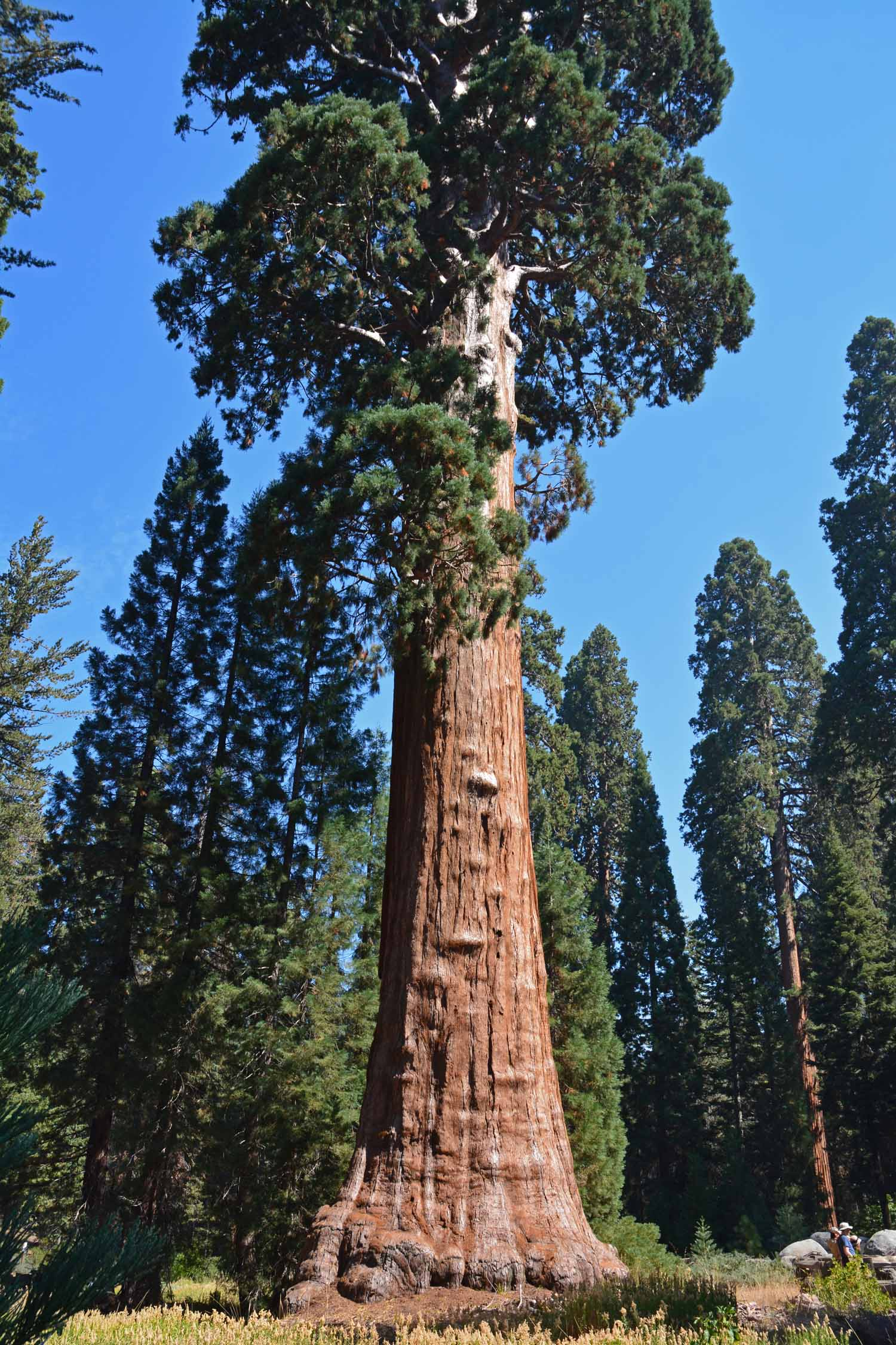 This is a big Sequoia from the bottom up!