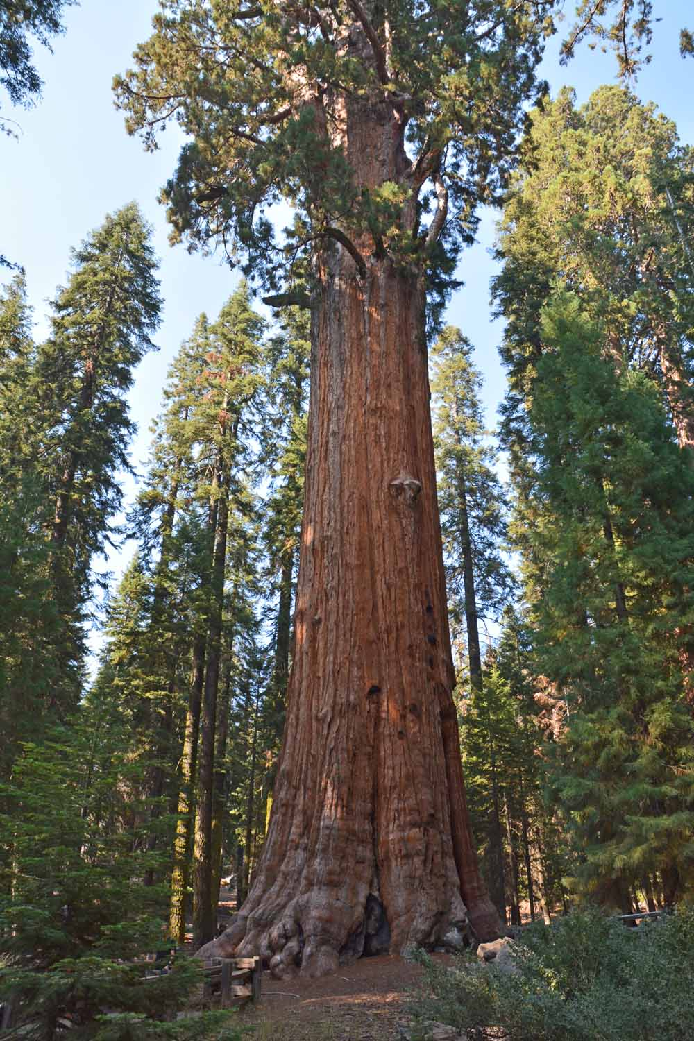 This tree is called General Sherman.  The stats for this tree were impressive.