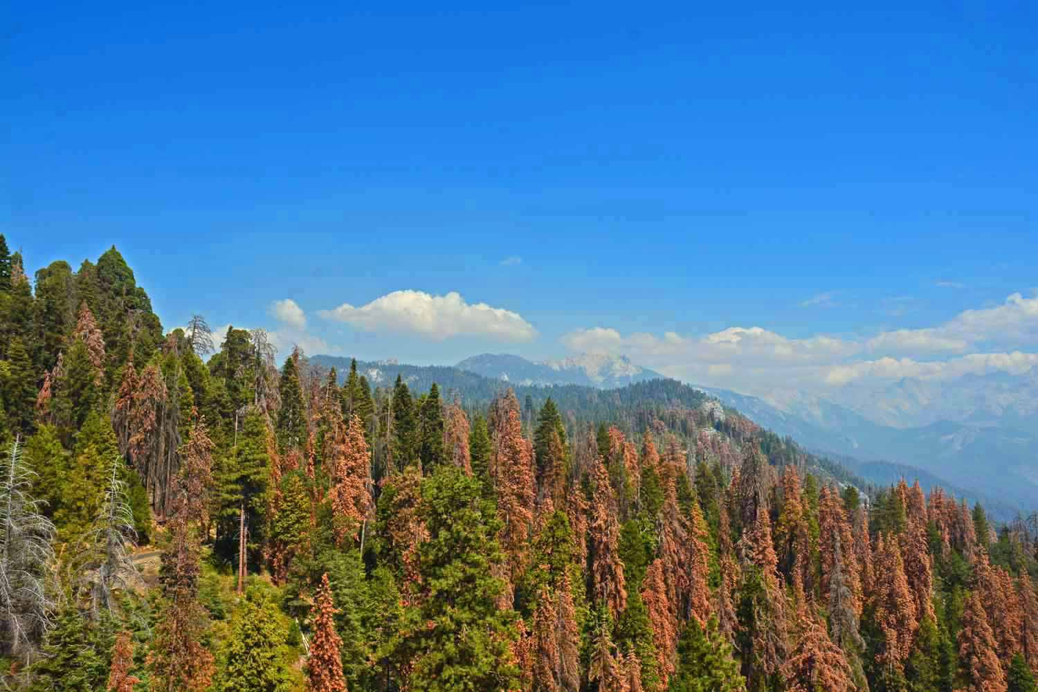 Note the dead and/or dying trees.  Otherwise nice view across the Sierra Nevada's.