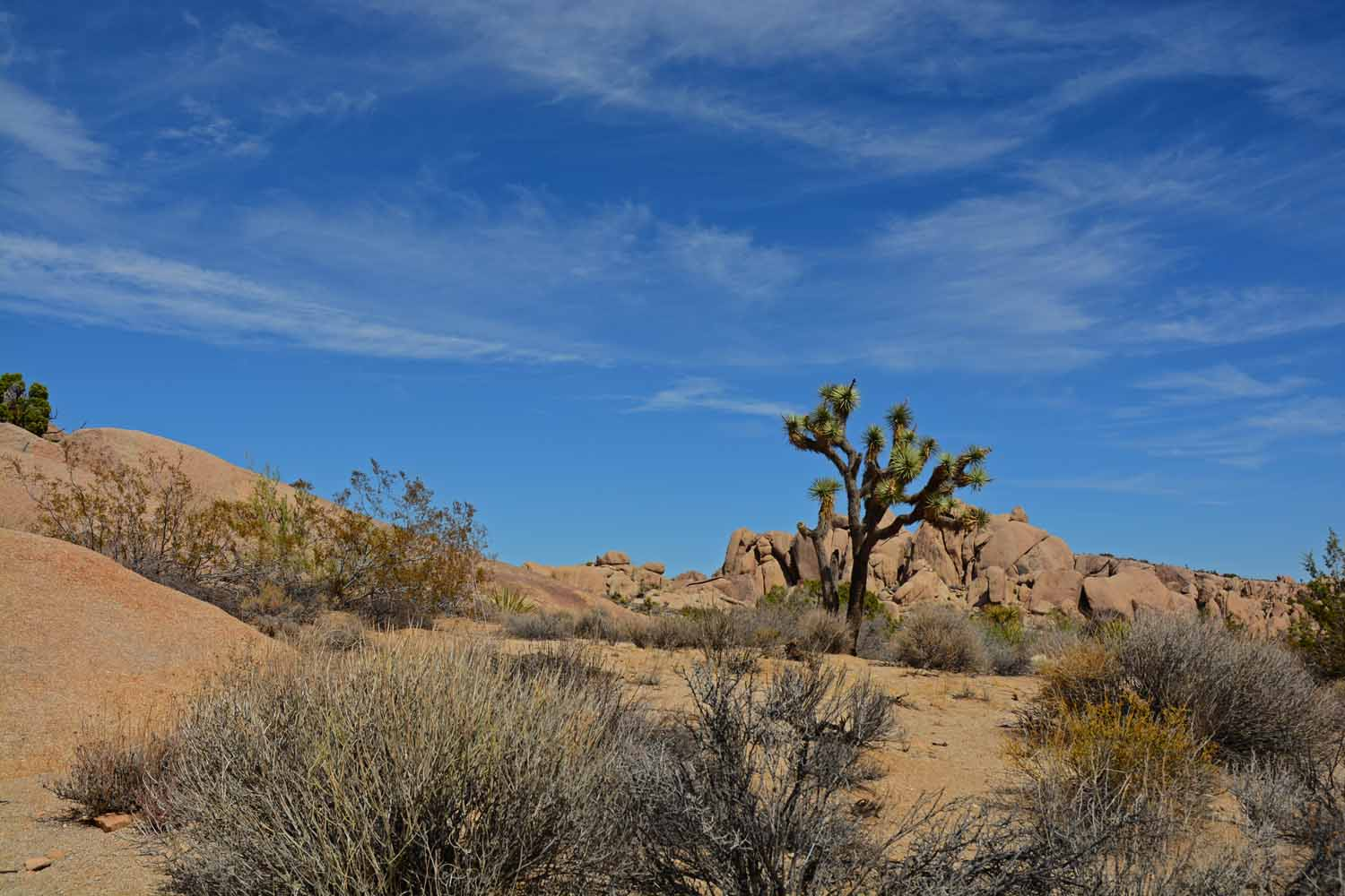 Had to shoot this Joshua Tree against the blue sky.
