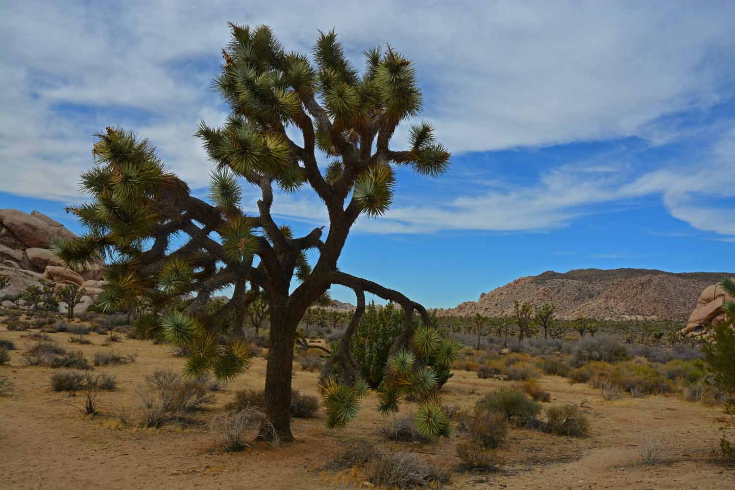 This is a very old Joshua Tree.  Some trees here are several hundred years old.