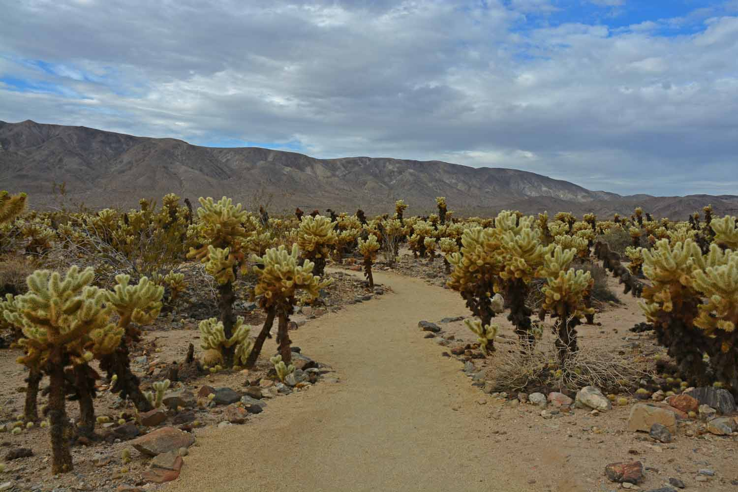 There was a nice trail through the Cholla Cactus Garden.