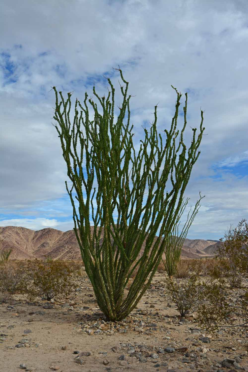 We found these plants fascinating.  They are Ocotillo plants and interestingly they are deciduous.  These plants loose their leaves when it is dry so they complete the cycle several times a year.  They were all green when we saw them as there had been recent rains.