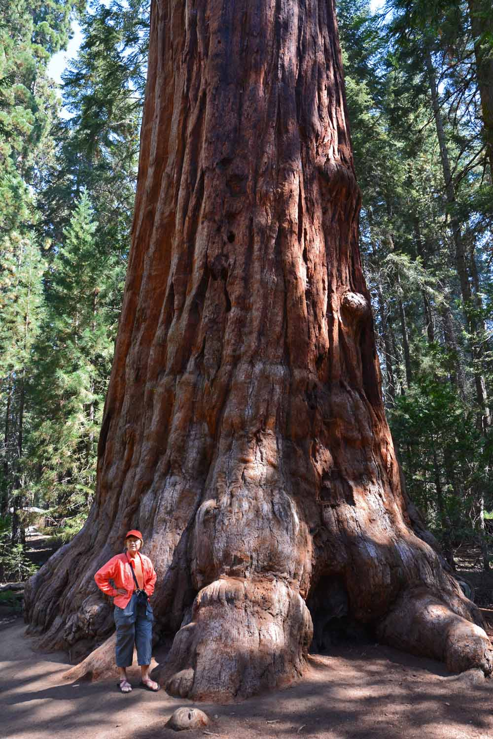 These large Sequoia trees are awesome