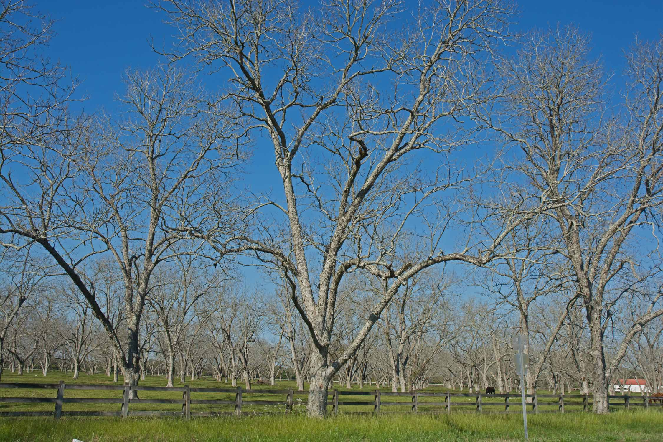 The drive out of Fairhope is through Pecan grove country.  Still March so no leaves yet.